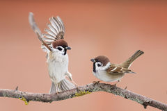 Birds sparrows. Staged a showdown outstretched wings on a branch in spring stock images