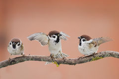 Birds sparrows. Staged a showdown outstretched wings on a branch in spring stock photo