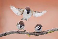 Birds sparrows Royalty Free Stock Images