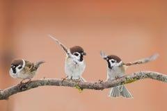 Birds sparrows Stock Photos