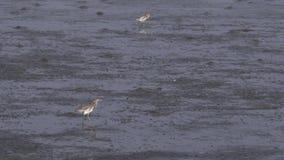 Birds standing on mudflats stock video footage