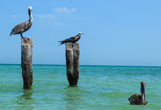 Birds staring. Sea wild life staring at photographer Stock Photography