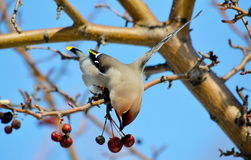 Birds of the steppes Royalty Free Stock Photo