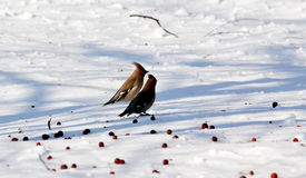 Birds of the steppes Stock Image