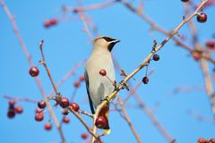 Birds of the steppes Royalty Free Stock Image