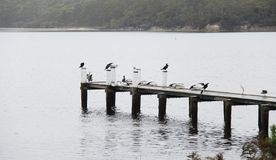 Birds on Stingaree Bay jetty, Tasmania, Australia. Stingaree Bay is a bay within Tasmania and is nearby to Stewarts Bay State Reserve, Oakwood and Radnor Stock Photography