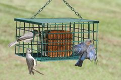 Birds on a Suet Feeder. Eastern Bluebird Sialia sialis and Tufted Titmouse Baeolophus bicolor on a Suet Feeder Stock Photography