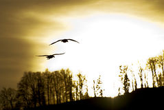 Birds and sun. A monochromatic photo depicting two birds in the air with the setting sun and some trees in the background Stock Images