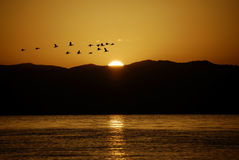 Birds in the sun. A group of birds fly though the rising sun Stock Photos
