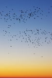 Birds in sunrise sky Stock Images