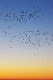 Birds in sunrise sky. Many black birds in winter sunrise sky, vertical Stock Images