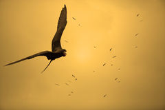 Birds in the sunset. Birds flying in the sunset at Curacao Royalty Free Stock Images