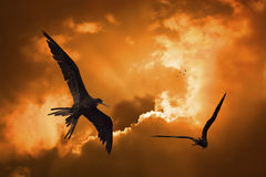 Birds in the sunset. Birds flying in the sunset at Curacao Stock Photos