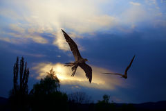 Birds in the sunset. Birds flying in the sunset at Curacao Stock Photography