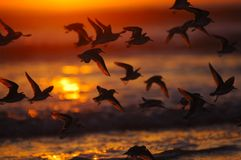 Birds at sunset. A group of water birds took off at sunset Stock Photos