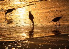 Birds at sunset. Three birds looking for food at sunset Stock Image