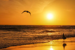 Birds in the sunset. Bird on the sand and another bird flying to the ocean in the sunset Royalty Free Stock Image