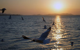 Birds at sunset. Birds fly over the sea at sunset Royalty Free Stock Images
