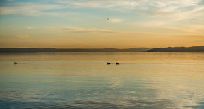 Birds At Sunset. Birds paddle across the water at sunset on the Puget Sound Stock Photo