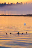 Birds in the Sunset. Birds swimming into the sunset Royalty Free Stock Images