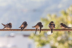Birds (Swallows) on a crossbar. In the nature royalty free stock photos