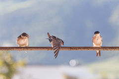 Birds (Swallows) on a crossbar. In the nature royalty free stock photo