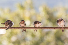 Birds (Swallows) on a crossbar Royalty Free Stock Photo