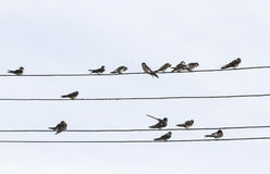 Birds swallows sitting on wires in the sky. Many birds swallows sitting on wires in the sky Stock Photo