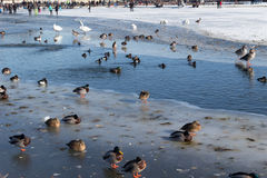 Birds swans, ducks in the frozen lake in the small not frozen Stock Photo