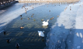 Birds swans, ducks in the frozen lake in the small not frozen Royalty Free Stock Photography