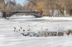 Birds swim in a pond in winter Stock Photo