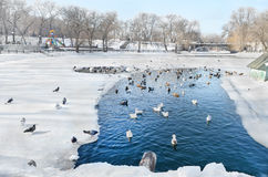 Birds swim in a pond in winter city park Royalty Free Stock Images