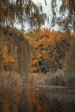Birds swim in the river in autumn park Royalty Free Stock Images