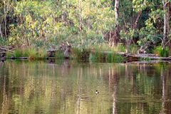 Birds Swimming Amongst Water Reflections. Wildlife swimming on the beautiful Australian Goulburn river amongst water reflections in late afternoon light royalty free stock image