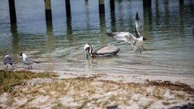 Birds swimming. At the bay near Bradenton, FL Stock Photography