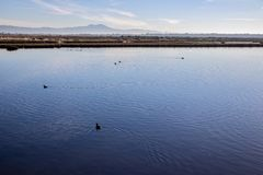 Birds swimming in the California wetlands. Water fowl swimming in the a lake in the Bolsa Chica Wetlands in Huntington Beach Orange County Southern California stock photography