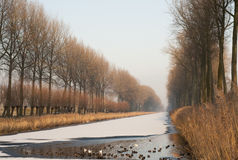 Birds swimming a hole in frozen canal. Water birds keep swimming to preserve a hole in the frozen Damse Vaart bordered by poplars, near Bruges stock image
