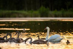 Birds swimming in lake stock photo
