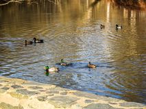Ducks swimming in a pond in the swamps. Birds swimming in Rock Creek Park during the winter Stock Images