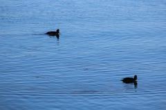 Birds swimming in Yellowstone lake Royalty Free Stock Image