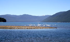 The birds take of. Birds in an island in chile Royalty Free Stock Images