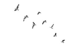 Birds taking off to sky (b&w) Stock Images