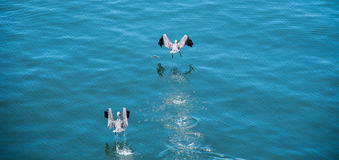 Birds taking off. Two birds taking off from the water Royalty Free Stock Photography