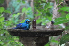 Birds taking a shower Royalty Free Stock Photos