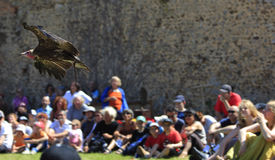 Birds taming show. Bald eagle flying above the assistance during a birds taming show.Medieval market show-Arville 23.05.2010 , France Royalty Free Stock Photo