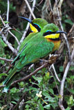 Birds of Tanzania Royalty Free Stock Images