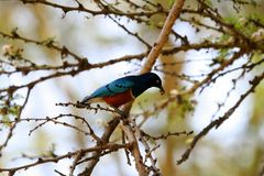 Birds of Tanzania Royalty Free Stock Photo