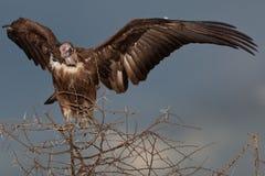 Birds of tanzania Stock Photography