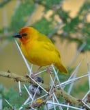 Birds of tanzania Royalty Free Stock Images