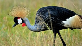 Birds of tanzania Royalty Free Stock Image